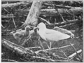 PSM V76 D553 Great herring gull chicks learning by observation.png
