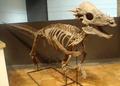 Pachycephalosaurus RoyalOntarioMuseum.png
