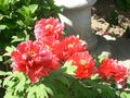 Paeonia suffruticosa Botan red001.jpg