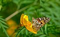 Painted Lady-Ziro.jpg