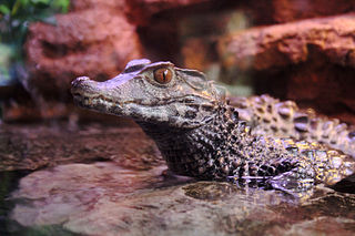 Cuviers dwarf caiman species of reptile