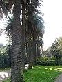 Palmeres - arbre d'interès local - Jardins de Vil·la Amèlia P1280092.jpg