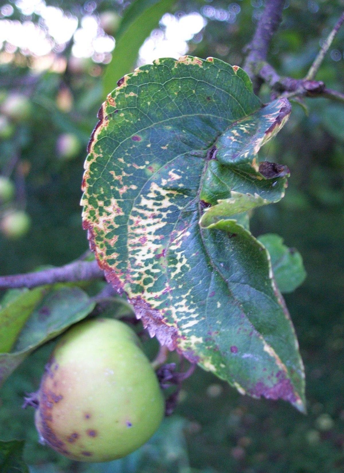 Apple mosaic virus - Wikipedia
