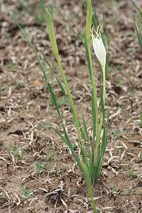 Pancratium trianthum MS 2006.jpg