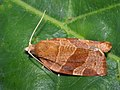 Pandemis cinnamomeana - Кривоусая листовёртка белолобая (39502078070).jpg