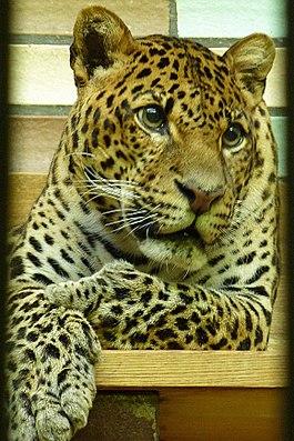 Java-Leopard (Panthera pardus melas) imTierparkBerlin