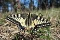Papilio machaon (33758346836).jpg