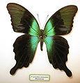 Papilio peranthus adamantius.JPG