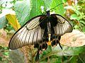 PapillonLune.jpg
