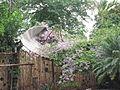 Parabole envahie par les bougainvillées au Pop Natura Hostel d'Iguaçu (Argentine).JPG