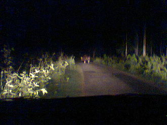Parambikulam Tiger Reserve - Wild Guars blocking passing vehicles.