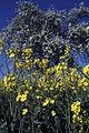 Parcelle de colza au printemps Ile de France-5-cliche Jean Weber-1 (23566472082).jpg