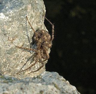<i>Pardosa pseudoannulata</i> Species of arachnid