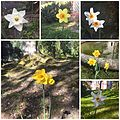 Park Villa Haas Narzissenblüte im Park.jpg