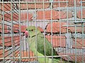 Parrot in cage.jpg