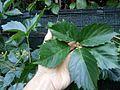 Parthenocissus quinquefolia leaf.jpg
