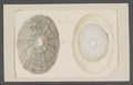 Patella spec. - - Print - Iconographia Zoologica - Special Collections University of Amsterdam - UBAINV0274 081 08 0044.tif