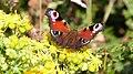 Peacock Butterfly 2.jpg