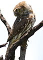 Pearl-spotted Owlet, Glaucidium perlatum, at Borakalalo National Park, Northwest Province, South Africa (16018428097).jpg