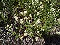 Pearly everlasting (Anaphalis margaritacea) (5792059106).jpg