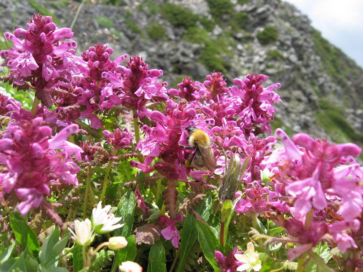 Pedicularis verticillata - Wikispecies