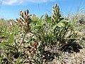 Pediomelum (Psoralea) esculentum (27587166395).jpg