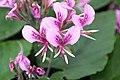 Pelargonium cordifolium 4zz.jpg