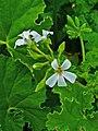 Pelargonium odoratissimum 002.JPG