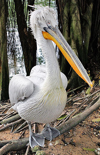 Dalmatian pelican - Image: Pelecanus crispus 20030720
