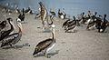 Pelicans at Paracas (6990408660).jpg