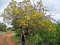 Peltophorum africanum, Blouberg Natuurreservaat.jpg