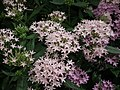 Pentas Cornia from Lalbagh flower show Aug 2013 8263.JPG