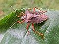 Pentatoma rufipes (Pentatomidae) (Red-legged Shieldbug) - (imago), Molenhoek, the Netherlands.jpg
