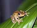 Perons Tree Frog (Litoria peroni) (8397011635).jpg