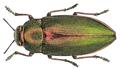 Perotis chlorana Laporte & Gory, 1836.png