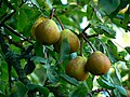 Perry pears, Nichols Orchard, Dyrham Park (geograph 2630034).jpg