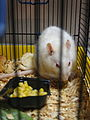 Pet white fancy rat.JPG