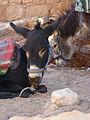 Petra - Donkeys (9779280853).jpg