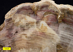Permineralization - Polished section of petrified wood showing annual rings.