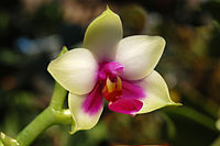 Phalaenopsis bellina edit.jpg
