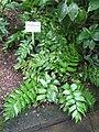 Phanerophlebia falcata - Botanischer Garten der Universität Würzburg.JPG