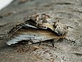 Pheosia gnoma - Lesser swallow prominent - Хохлатка берёзовая (26267241047).jpg