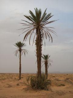 Kurma, Sinai, Mesir