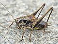 Pholidoptera griseoaptera01.jpg