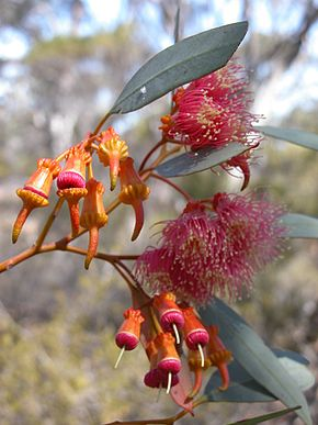 Photo of Eucalyptus torquata flowers.jpg
