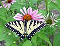 Photo of the Week - Swallowtail butterfly on coneflower, MA (5984863550).jpg