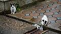 Phuket Thailand Feral-cats-at-Wat-Chalong-01.jpg