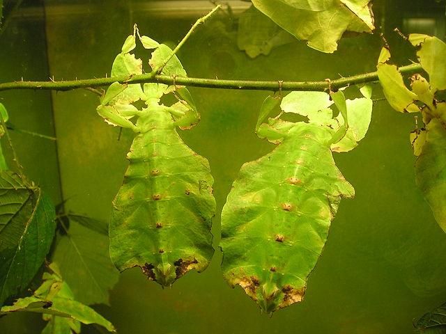 Vandrande blad, <i>Phyllium giganteum</i>.