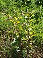 Phytolacca americana Clinton MI 2.jpg