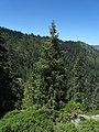 Picea breweriana - Flickr - theforestprimeval (3).jpg